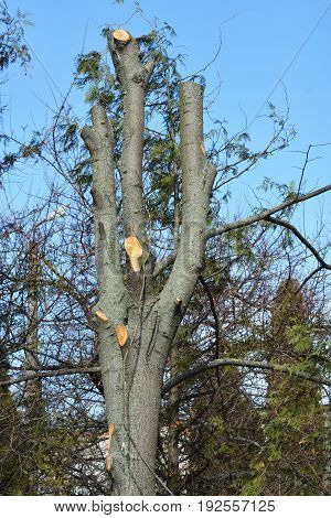 Very bad tree pruning. Common Pruning Mistake. Cutting tree branches.