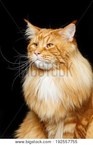beautiful big maine coon cat. Copy space. Studio shot on black background.