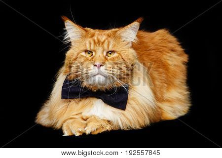 beautiful big maine coon cat with black bow tie. Copy space. Studio shot on black background.