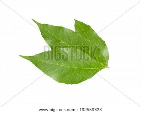 Three maple green leaves isolated on white background