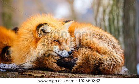 cute red fox in winter snow at Zao fox village, Miyagi, Japan