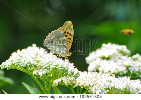 Argynnis paphia, Silver Washed Fritillary butterfly  on wildflower. Butterfly on a Sambucus ebulus flowers