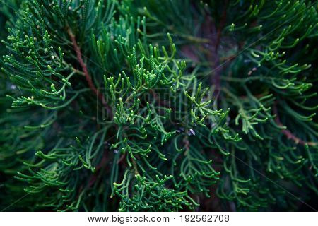 Branch decorative needle cypress dark background, close-up, coniferous tropical wood