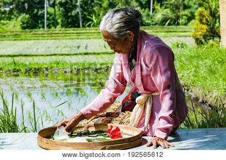 Ubud Bali Indonesia - July 29 2013. An unidentified woman works in rice plantation. The process of planting rice by hand. Rice fields in Bali