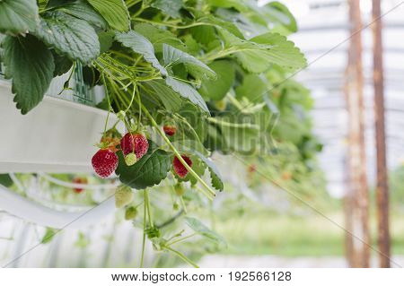 Greenhouse soilless cultivation of strawberries with focus on foreground