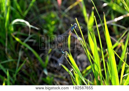 Two blue dragonflies sit on green grass in the early morning