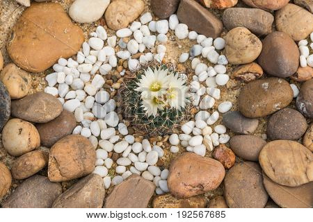 Green prickly cactus with white flowers over fertile soil with yellow big and small rocks surrounding top view