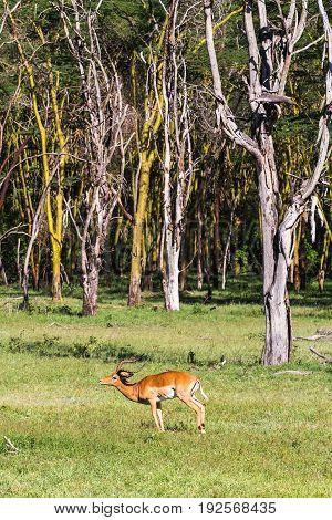Antilope Impala near trees. Kenya, Eastest Africa