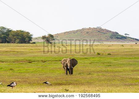 Landscape with big elephant. Hills of Amboseli, Kenya