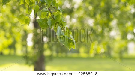 green linden leaves sways in the wind, wide photo