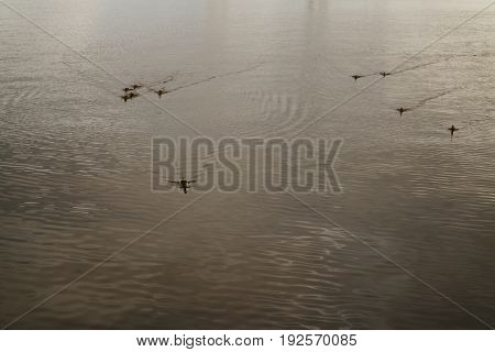 ducks on pond water surface in evening light, wild life birds