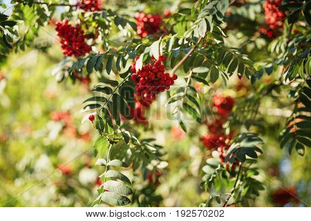 rowan berries on tree in sunny autumn day, shallow focus