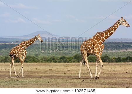 Two reticulated giraffes (Giraffa camelopardalis) walking across a dry savanna. Ol Pejeta Conservancy Kenya.