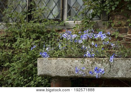 Beautiful Image Of Wild Blue Phlox Flower In Spring Overflowing From Vintage Planter Box