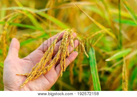 Hand tenderly touching a young rice in the paddy filed blurred background