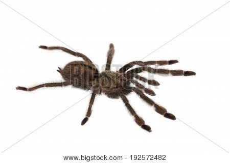 Spider Cyclosternum Davus Fasciatum on white background