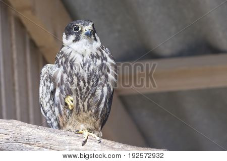 Common kestrel Falco tinnunculus is a bird of prey species belonging to the kestrel group of the falcon family Falconidae. Also known as the European kestrel, Eurasian kestrel.