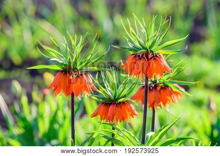 Flower of beautiful orange crown imperial or Fritillaria imperialis