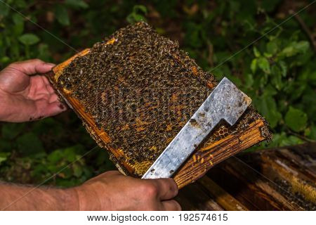 beekeeper with hive tool in the hand checks honeycomb removed from the hive