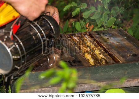 beekeeper smokes into the opened hive to check the condition of the colony