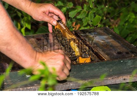 beekeeper take out frame from the hive to check the condition of the colony