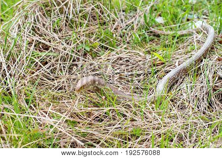 Close-up of sheltopusik legless lizard or Pseudopus apodus' also known as Pallas glass lizard