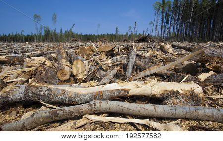 Trees down in a forest in north Saskatchewan Canada