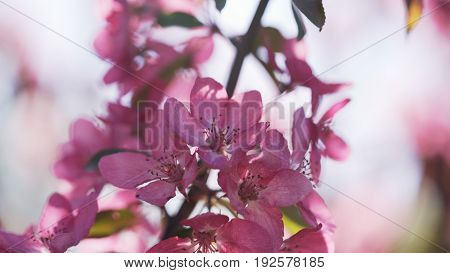 bright purple apple flowers in sunny day, wide photo