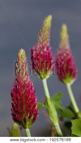 Three red clover flowers that are blooming in spring