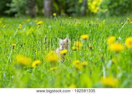 Kitten of red color in a clearing in the grass among flowering dandelions