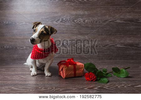 Jack Russell Terrier sitting in front of dark wooden background. Dog in a trendy red bandana. Dog with festive gift box and red rose.
