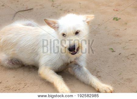 Angry white dog shows teeth. Pets on the sand