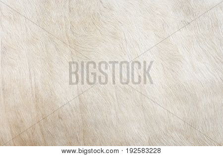 White hair cow skin - real genuine natural fur, free space for text.  Cowhide close up.  Texture of a white cow coat. White fur background.