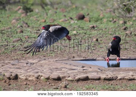 Mature Bateleur take off from a waterhole after drinking some