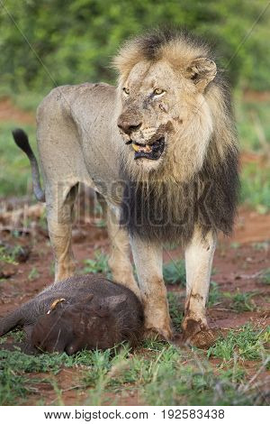 Old hungry male lion rests after killing a warthog to eat