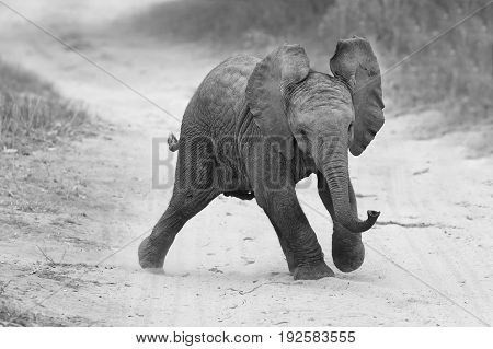 Young elephant play on a road while family feed nearby in artistic conversion