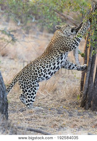 Strong and hungry leopard catch a rock python for eating