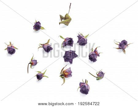 oil draw old purple rose dry fall fowers isolated element paint object set
