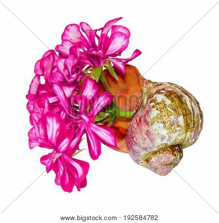 Bouquet Of Geranium Flower And Leaves  In An Old Shabby Shell Isolated Against A White Background