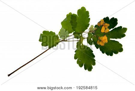 Bur Marigold. Dried Pressed Herb With Yellow Flowers Isolated On White