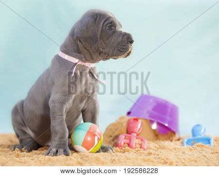 Grey Great Dane puppy that is four weeks old on a beach scene