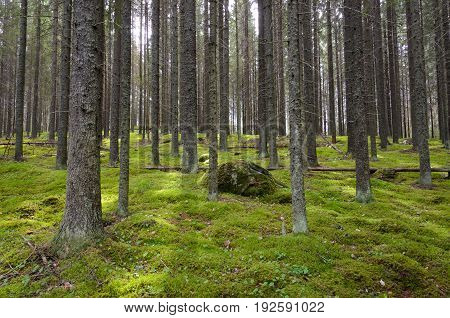 Green moss grows in spruce forest. Finland.
