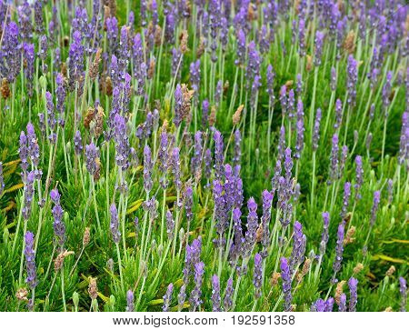 Lavender flowers in the field.Lavandula angustifolia.Selective focus.