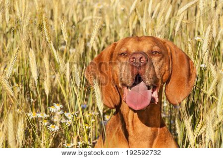 Hot evening at farm farm. Cultivation of grain. Detail of dog head. Dog in the wheaten field