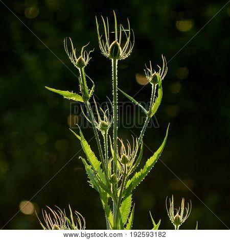 Backlit teasel plant in Seaton Wetlands Devon