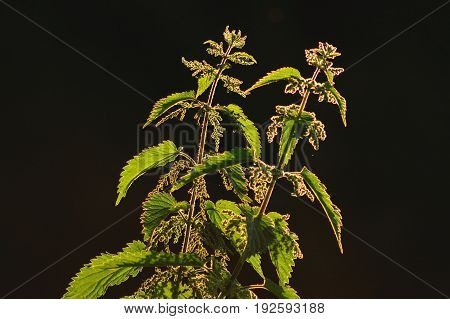 Backlit stinging nettle plant in Seaton Wetlands Devon