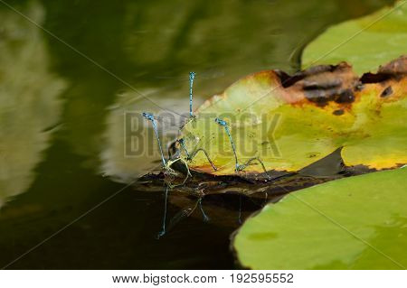 Group of azure damselflies mating on the water lily