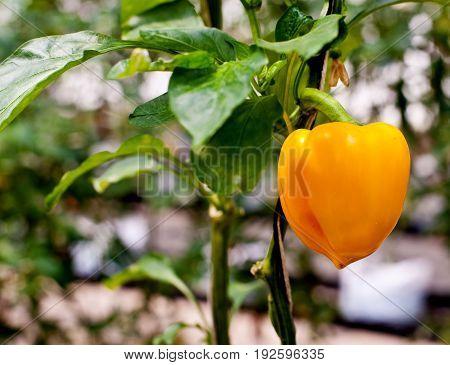 A yellow bell papper in thd garden