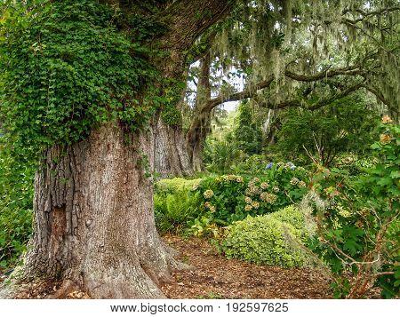Large Giant Oaks in Brookgreen gardens near Myrtle Beach in South Carolina.
