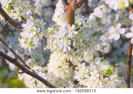 close-up shot of plum flowers on a flowering tree